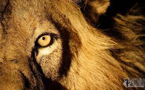 Lion Eyes Wallpapers - Top Free Lion ...