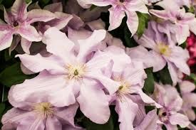 Growing Clematis In The Shade Hgtv