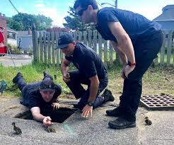 Wayward ducklings find a helping hand - The Boston Globe