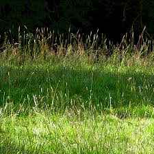 wild grass texture. Simple Texture Grasses In The Sunlight And Wild Grass Texture E