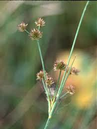 Juncus - Online Virtual Flora of Wisconsin