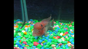 Aquarium Design For Flowerhorn Flower Horn Fish Tank Setup