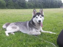 cross husky pups pets for
