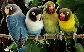 lovebirds wallpapers hd wallpapers id 8554