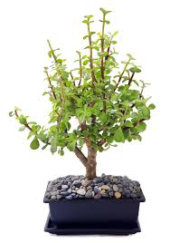 office bonsai. Office Bonsai. Need To Add Some Zen Your Home Or In An Easy Way Bonsai R