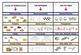Monomer And Polymer Chart Poster Categorizing Four Main Types Of Biomolecules With