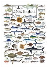 Chesapeake Bay Fish Identification Chart Fishes Of The New England Coast Saltwater Fish Charts