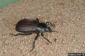 Black Beetle Identification Chart Top 20 Identified Insects