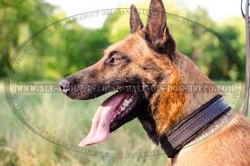 snugly lying leather belgian malinois dog collar for diffe activities