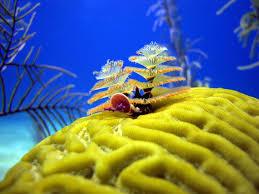 The Amazing Undersea Christmas Tree WormsChristmas Tree Worm Facts
