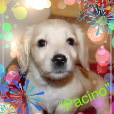 history of the english cream dachshund