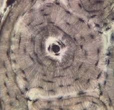 Bone Tissue Histologyolm Stevegallik Org
