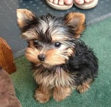 baby yorkshire terrier.  Baby Adorable Cute Baby Yorkshire Terrier Puppy For