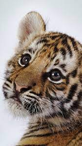 Cute Tiger Cub - Free Stock Photos ...