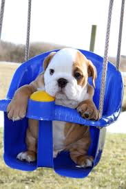 cute english bulldog puppy. Exellent Puppy Bulldogpuppycutedogphotography41__605 With Cute English Bulldog Puppy H