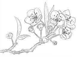 30+ Tranh tô màu hoa Mai đẹp nhất - VNReview Tin mới nhất