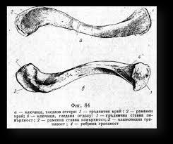 КОСТИ НА РАМЕННИЯ ПОЯС Реферат от Биология  към дългите тръбести кости фиг 84 Тя има s образна форма Състои се от тяло corpus claviculae и два края медиален или гръдничен extremitas