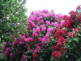 a guide to rhododendron poisoning in dogs