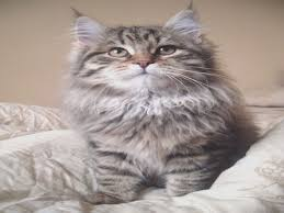 Maine Coon Growth Chart Maine Coon Kitten Weight Chart Popular Breeds Of Cats