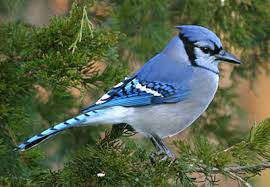 Image result for blue jay bird