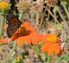 In a <b>Butterfly State-of-Mind</b> - Bug Squad - ANR Blogs
