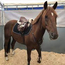 Dixie Haley's 6 year old all around eventing horse also available to breed  - Horses - #Breed #Dixie #Eventing #Haleys … | Eventing horses, Horses,  Beautiful horses