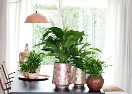 Einblatt Ist Zimmerpflanze Des Monats Juni Das Einblatt Sorgt Für