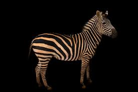 do zebras have stripes on their skin