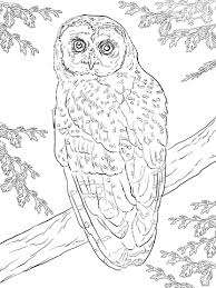 Small Picture Northern Spotted Owl coloring page Free Printable Coloring Pages