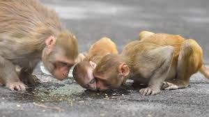 Çin'de yeni salgın: 'Monkey B' virüsü nedeniyle ilk ölüm gerçekleşti! Monkey  B virüsü nedir? Monkey B virüsünün belirtileri nelerdir? - Yeni Şafak