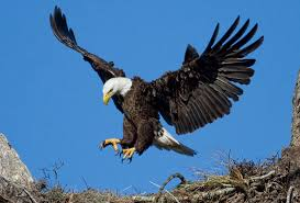 Image result for eagle
