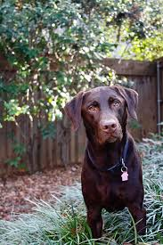 Gracie Bell Friday Night Lights Gracie Bell The Cutest Chocolate Lab Was Named After A
