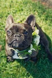 The 25 best French bulldog wedding ideas on Pinterest