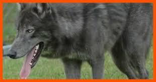 black german shepherd wolf hybrid. Interesting Black The Mysterious German Shepherd Wolf Mix U2013 Characteristics Temperament  Risks And Black Hybrid A