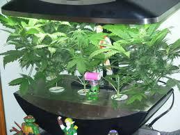 aerogarden weed harvest. aerogarden grow with aero garden weed aerogarden harvest