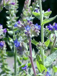 Anchusa officinalis - Wikipedia