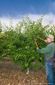 Best Time For Pruning Fruit Trees U2013 How To Prune A Fruit TreeCan You Prune Fruit Trees In The Summer
