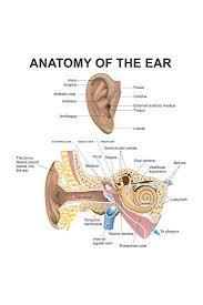 Anatomy Of The Human Ear Diagram Chart Cool Wall Decor Art Print Poster 12x18
