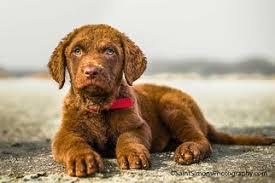 akc chesapeak bay retriever pups