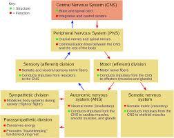 Nervous System Flow Chart Flow Chart Of Nervous System Class 10 Diagram