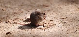 getting rid of rats in your garden