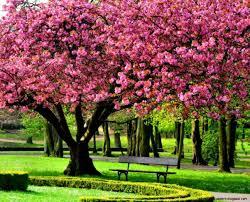 1203x972 wallpaper desktop pink cherry blossom tree 1920 x 1080 268 kb jpeg 1920x1200 cherry blossom tree hd desktop