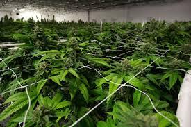 Dispensaries end bid for legal marijuana in Florida in 2020 - South Florida  Sun-Sentinel