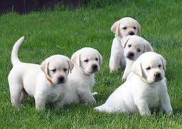 yellow lab puppies for sale.  Yellow I Had The Distinct Pleasure Of Working With Gretchen When She Entrusted Me  8 Her Beautiful Labradors For  For Yellow Lab Puppies Sale U