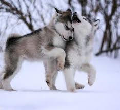 baby husky in snow. Simple Husky Baby Huskies Playing In The Snow And Husky In Snow B