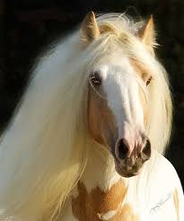 draft horse head profile. Plain Draft A Gypsy Horses Facial Profile Should Be Straight Neither Overly Dished Nor  Roman Nosed Sweet Head More Refined Than That Of Most Draft Horses  To Draft Horse Head Profile S