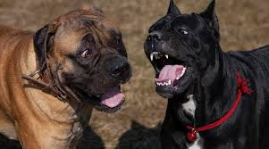 Cane Corso Weight Chart Pounds Cane Corso Vs Boerboel Breed Differences Similarities