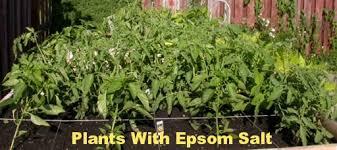 epsom salt gardening. Why I Use Epsom Salt In The Garden Gardening E