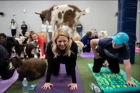 goat yoga at dunkin donuts park