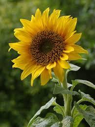 sunflower black oil seed